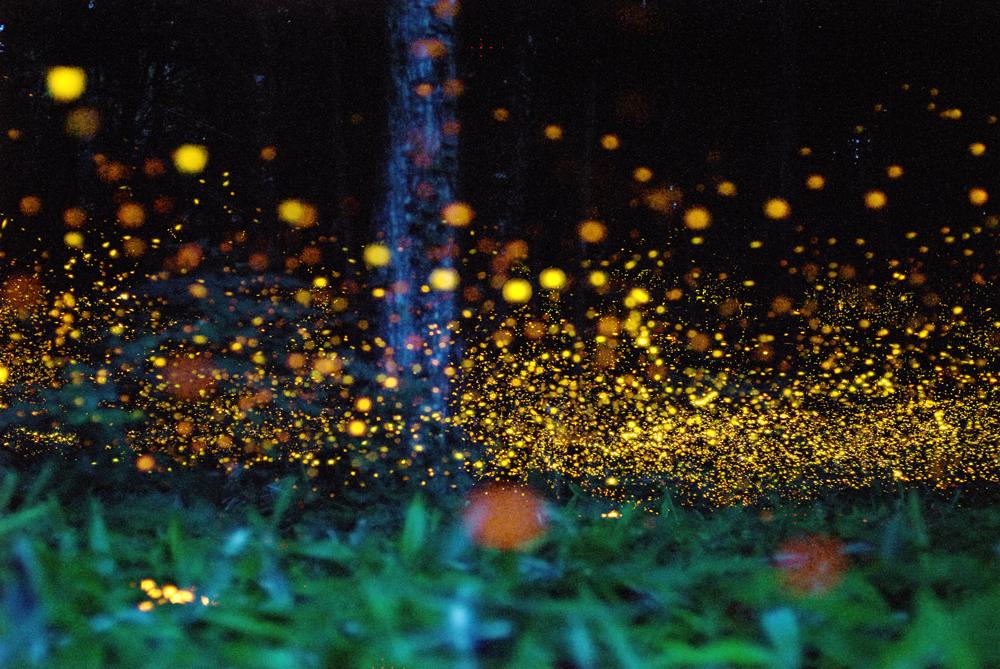 Fireflies Stasia Burrington